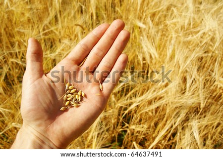 Farmer growing grain or wheat, agriculture. - stock photo
