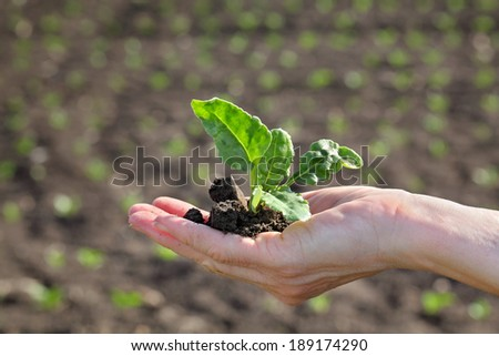 Farmer hand hold soy plant in front of field - stock photo