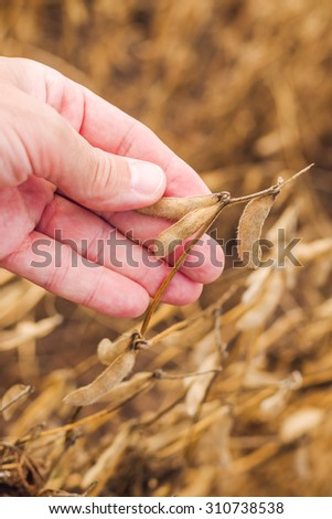 Farmer hand in harvest ready soy bean cultivated agricultural field, organic farming soya plantation, vertical image, selective focus - stock photo