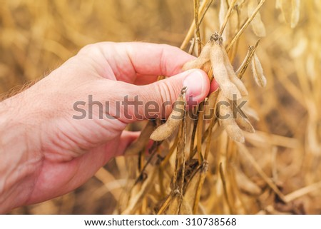 Farmer hand in harvest ready soy bean cultivated agricultural field, organic farming soya plantation, horizontal image, selective focus - stock photo