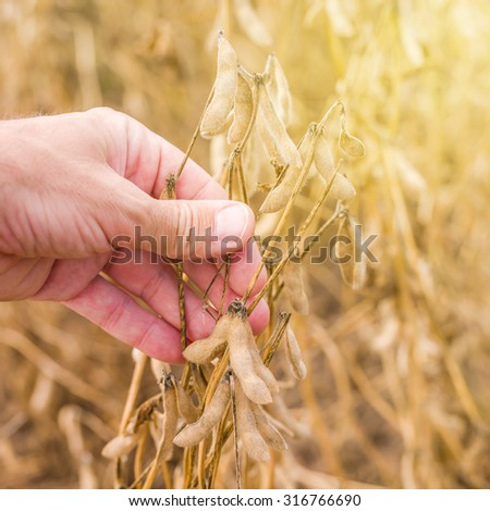 Farmer hand in harvest ready soy bean cultivated agricultural field, organic farming soya plantationv, selective focus - stock photo
