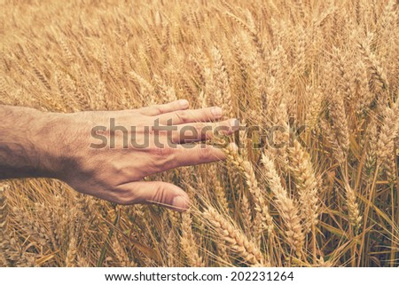 Farmer hand in Wheat field. Agricultural cultivated wheat field. - stock photo