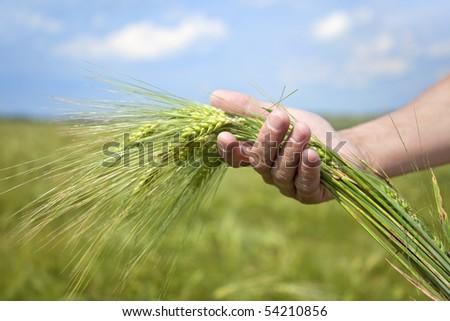 Farmer hand keep green wheat spikelet. - stock photo