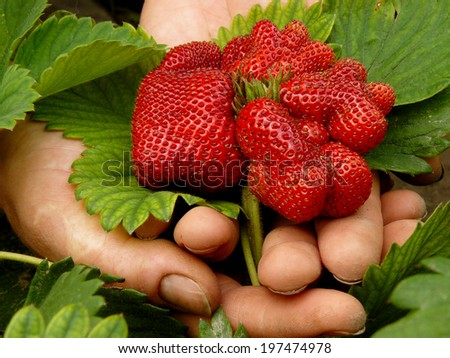 farmer hand with ripening strawberry of special variety - stock photo