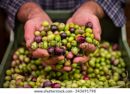 Farmer hands holding a handful of fresh harvested olives. Selective focus on the olives.  - stock photo