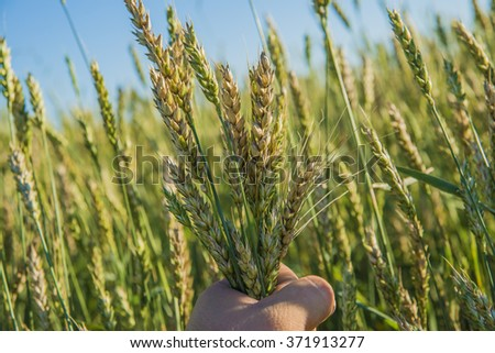 Farmer hands holding barley in beautiful sunset light