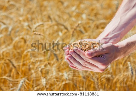 Farmer hands holding ripe wheat corns against field - stock photo