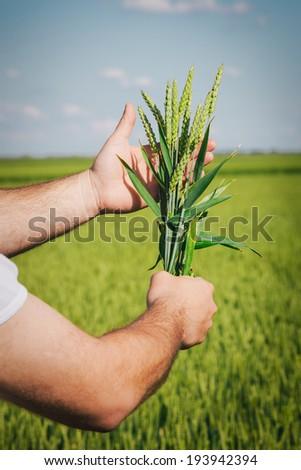 Farmer hands holding wheat - stock photo