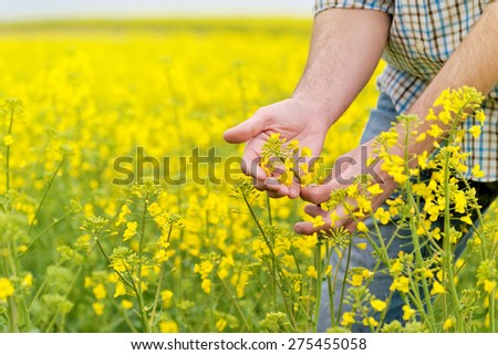 Farmer Hands in Oilseed Rapeseed Cultivated Agricultural Field Examining and Controlling The Growth of Plants, Selective Focus with Shallow Depth of Field, Crop Protection Agrotech Concept - stock photo