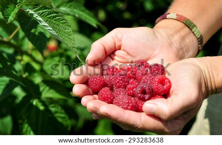 Farmer hands picking raspberries on a hot summer day - stock photo