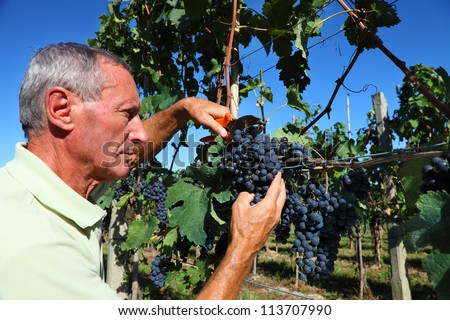 farmer harvesting a  bunch of grapes in tuscany - stock photo