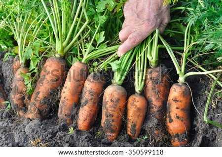 farmer harvesting fresh organic carrots in the field - stock photo