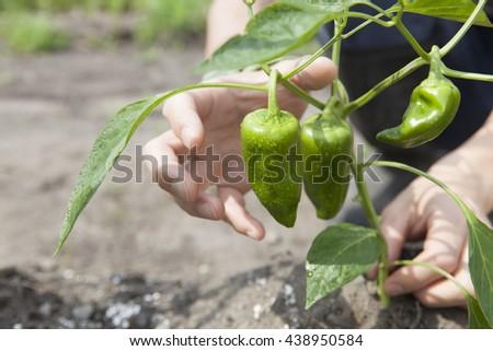 farmer harvesting green pepper  - stock photo