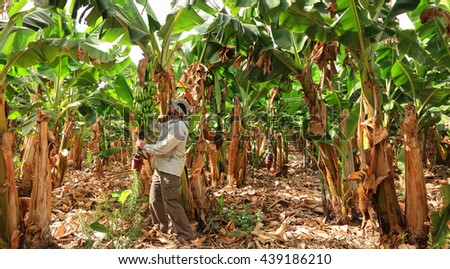 Farmer harvesting on a banana plantation. Cultivation and vegetation of exotic fruits. Farming. Agricultural industry, seasons and crops.