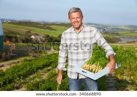 Farmer Harvesting Organic Carrot Crop On Farm - stock photo