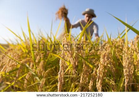 farmer harvesting rice - stock photo