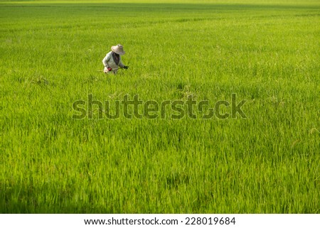 Farmer harvesting ripe paddy rice field in Suphanburi, Thailand  - stock photo