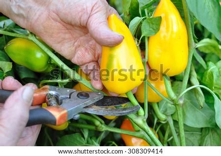 farmer harvesting ripe pepper in the vegetable garden - stock photo