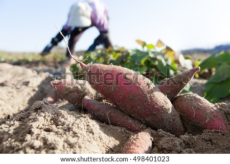farmer harvesting sweet potato