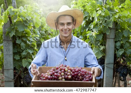 farmer harvesting the grapes in the vineyard
