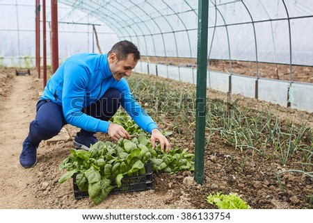 Farmer harvesting young spinach from his greenhouse