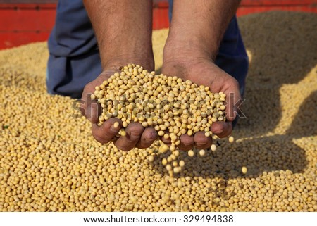 Farmer hold soybean crop in hands after harvest