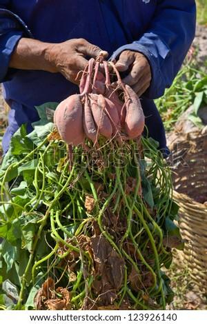 Farmer hold sweet yam,potato - stock photo