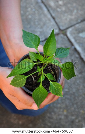 Farmer holding capsicum plant in hands