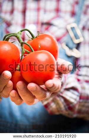 Farmer holding fresh delicious tomatoes with hands cupped. - stock photo