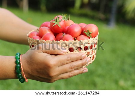 Farmer holding fresh organic tomatoes in handcraft basket in the garden - stock photo