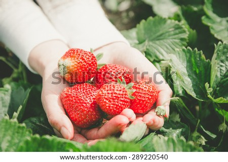 Farmer holding fresh strawberries  - stock photo
