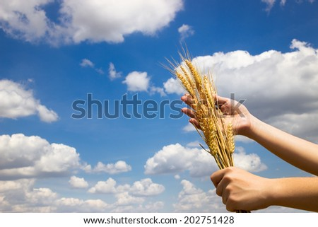 Farmer holding his successful yield of wheat, concept - best harvest - stock photo