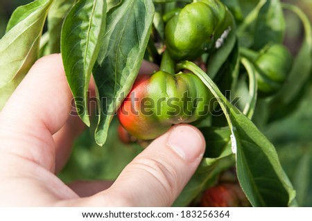 Farmer holding in hand a little and rotten peppers damaged and  by the drought and illnesses. The concept of global warming, strong heat and very drought years - stock photo