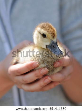Farmer holding little duck in his hands - stock photo