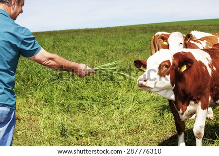 Farmer holds cow grass to eat - stock photo