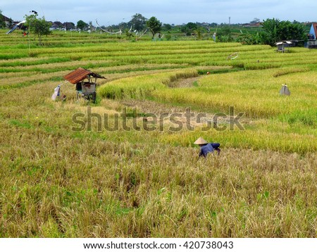 Farmer in rice field, Bali, Indonesia.