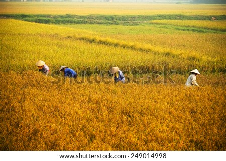 farmer in rice field in sunset, it's harvest time in Hanoi, Vietnam. This is the main shipping method farmers - stock photo