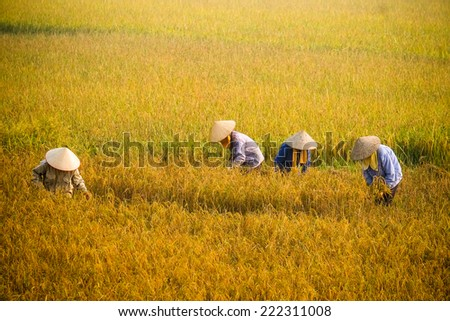 farmer in rice field, it's harvest time in Hanoi, Vietnam. This is the main shipping method farmers - stock photo