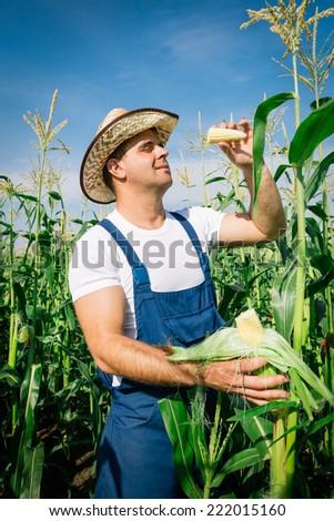 Farmer inspecting corn plant in field - stock photo