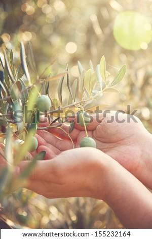 Farmer is harvesting and picking olives on olive farm. Gardener in Olive garden harvest - stock photo