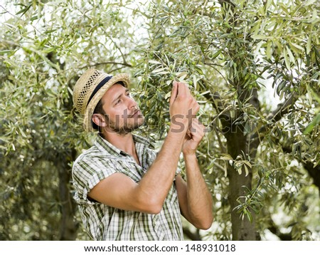 farmer is harvesting olives and checking the state of maturity of its olives - stock photo