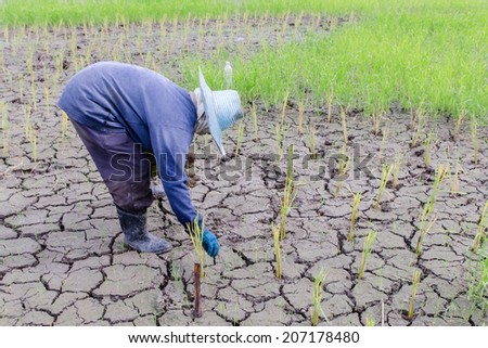 Farmer is planting rice in the drought farm - stock photo