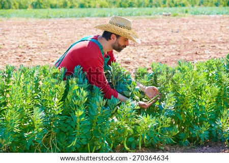 Farmer man harvesting lima beans in Mediterranean orchard field - stock photo