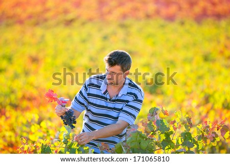 Farmer man in vineyard harvest autumn leaves in mediterranean field - stock photo