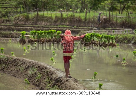 Farmer of Lao carry young plant on rice field inLuang Prabang  , Laos - stock photo