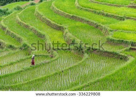 Farmer on rice paddy(fields) agriculture. - stock photo