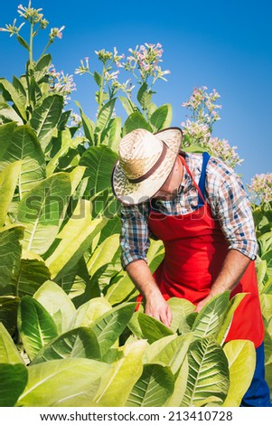 Farmer on the tobacco field - stock photo