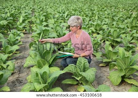 Farmer or agronomist examine tobacco plant  field - stock photo