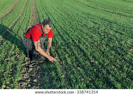 Farmer or agronomist inspect quality of wheat in late autumn - stock photo