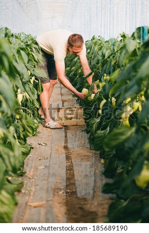 Farmer picking bell peppers in a big greenhouse - stock photo